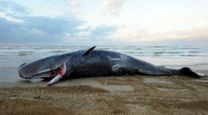 cetacei-spiaggiati